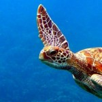 Queensland Diving Turtle